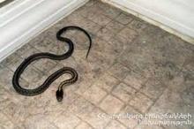 Փրկարարները հայտնաբերել են օձին և տեղափոխել անվտանգ տարածք