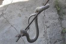 Փրկարարներն անվտանգ տարածք են տեղափոխել օձին
