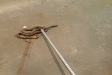Rescuers removed snakes to a safe area