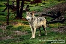 Волки растерзали 25 голов мелкого рогатого скота