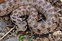 Փրկարարներն օձին տեղափոխել են անվտանգ տարածք