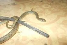 Փրկարարներն օձերին տեղափոխել են անվտանգ տարածք
